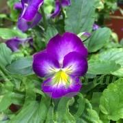 viola-halo-violet-violette