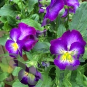 viola-halo-violet-violette-2