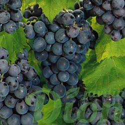 vitis-concord-raisins-bleus-vigne.jpg