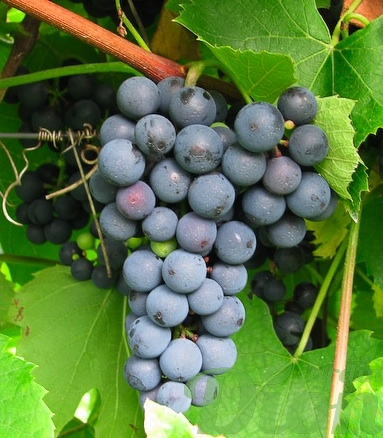 vitis-ste-croix-vigne.jpg