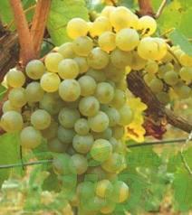 vitis-vandal-cliche-raisins-verts-vigne.png