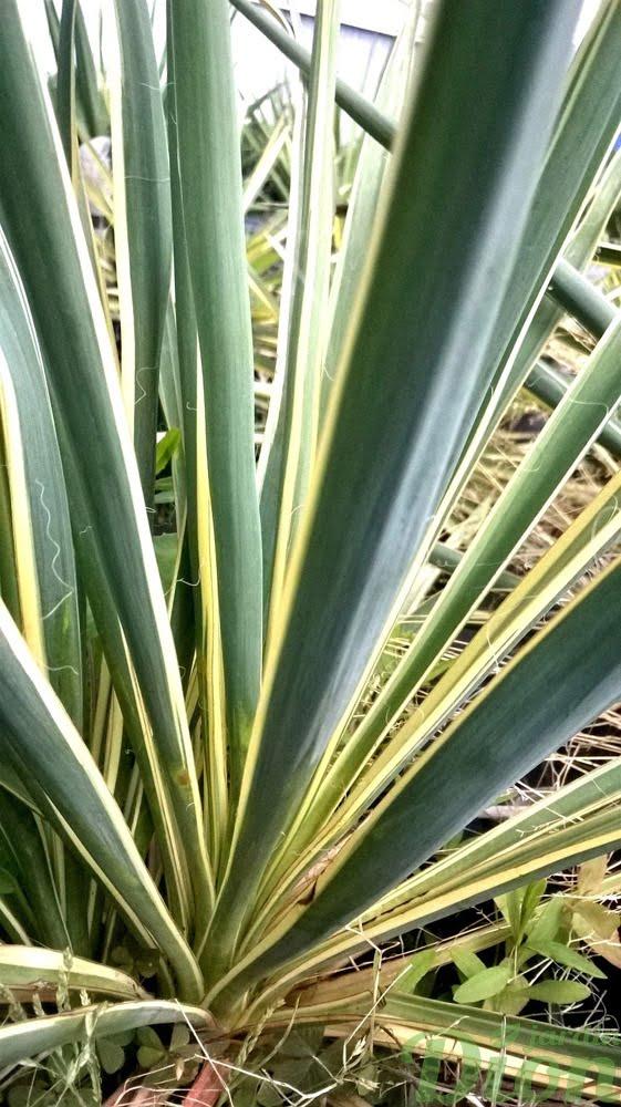 yucca-filamentosa-bright edge