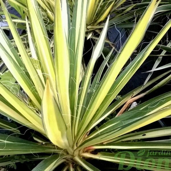 yucca-filamentosa-color guard