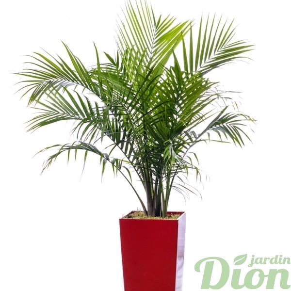 Palmier jardin dion for Palmier dans pot