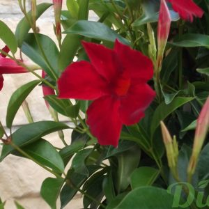 Mandevilla (Dipladenia) rouge