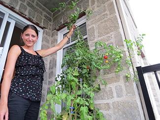 Plant de tomate 'Sweet 100'