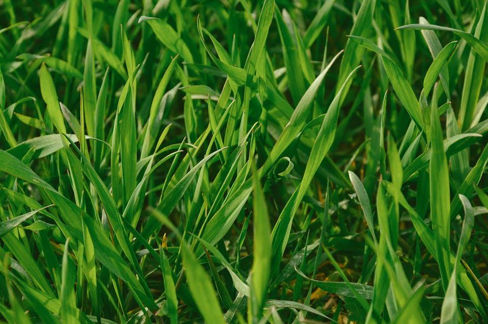 travaux-printemps-pelouse-verte-en sante-gazon
