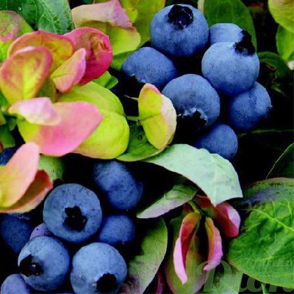Bleuets peach sorbet