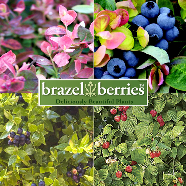 Brazel berries copier