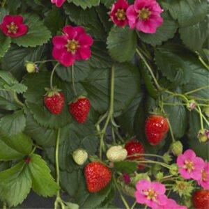 Fraisier-toscana-fleurs roses