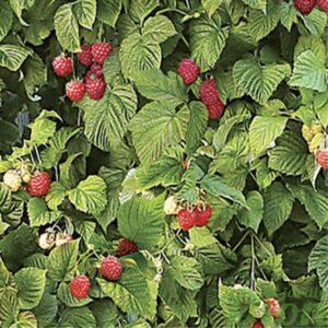 Framboisier Raspberry Shortcake