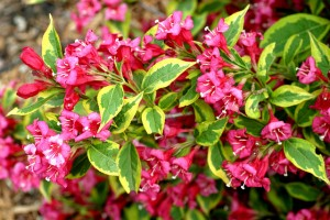 Shrub-Weigela-Freanch-Lace[1]