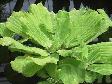 pistia-stratiote-laitue d'eau-plante flottante