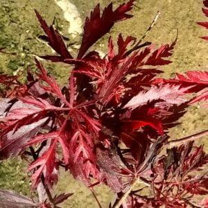 acer_palmatum_inabe_shidare_érable_japonnais-001
