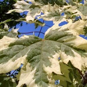 acer_platanoides_drummondii_feuilles