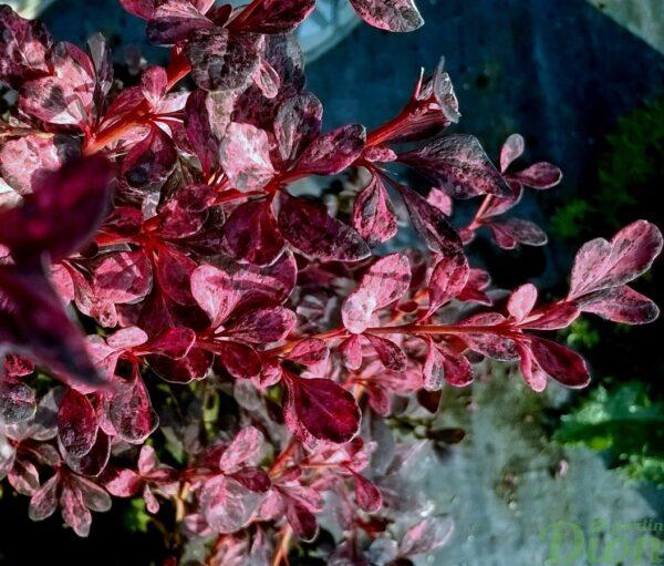 berberis_thunbergii_rose glow_épine-vinette_feuillage