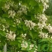 catalpa_speciosa_fleurs