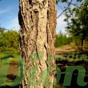 gymnocladus_dioicus_chicot du Canada_écorce-001