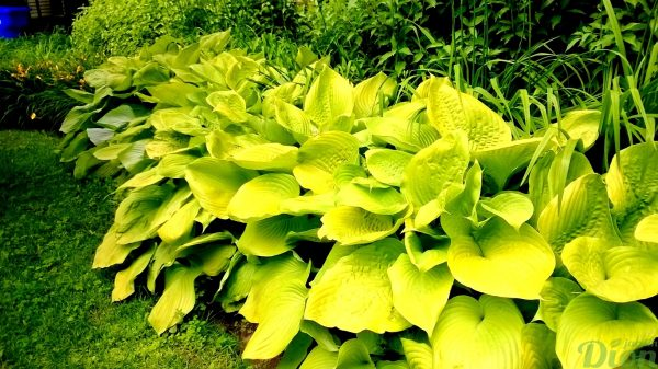 hosta_sum and substance-002