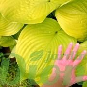 hosta_sum and substance_feuilles-002