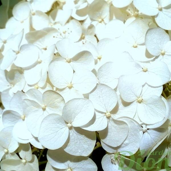 hydrangea_arborescens_annabelle_hydrangée_fleur
