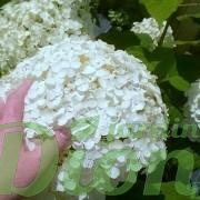 hydrangea_arborescens_annabelle_hydrangée_taille de la fleur