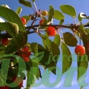 prunus_cerasus_montmorency_griotte_cerisier acide