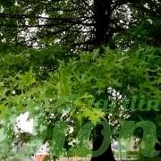 quercus_palustris_chêne_des marais_feuillage