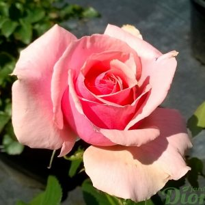 rosa_grandiflora_tournament of roses_rosier