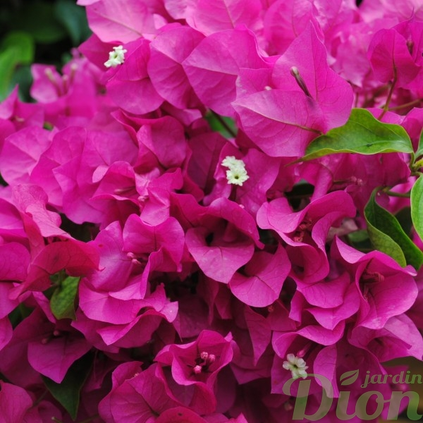 bougainvillier-rose