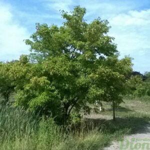acer-ginnala-érable de l'amur