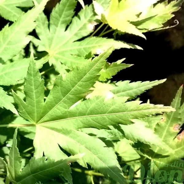 acer-palmatum-érable-japonais-orange dream-feuillage