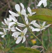 amelanchier-grandiflora-amélanchier à grande fleurs-princess-diana