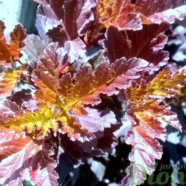 Physocapus 'Diabolo' – Feuillage printanier