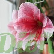 amarillys-rose et blanc