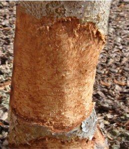 dommage-d'un-tronc-d'arbre-par-des-rongeurs copier
