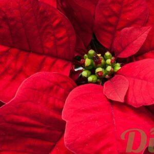 Plantes de no l jardin dion part 2 for Plante noel rouge
