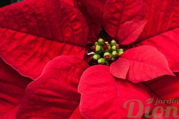 poinsettia-rouge-plante de noel-etoile de noel