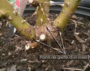 points-de-greffe-rosier-hybride de thé