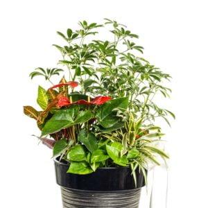 Agencement d'anthurium, pothos, shefflera et croton dans un pot