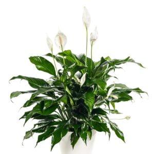 Grand spathyllum dans un pot de 6'' blanc, lustré
