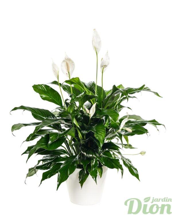 PL-0554-spathiphyllum-avec pot-blanc-ombre