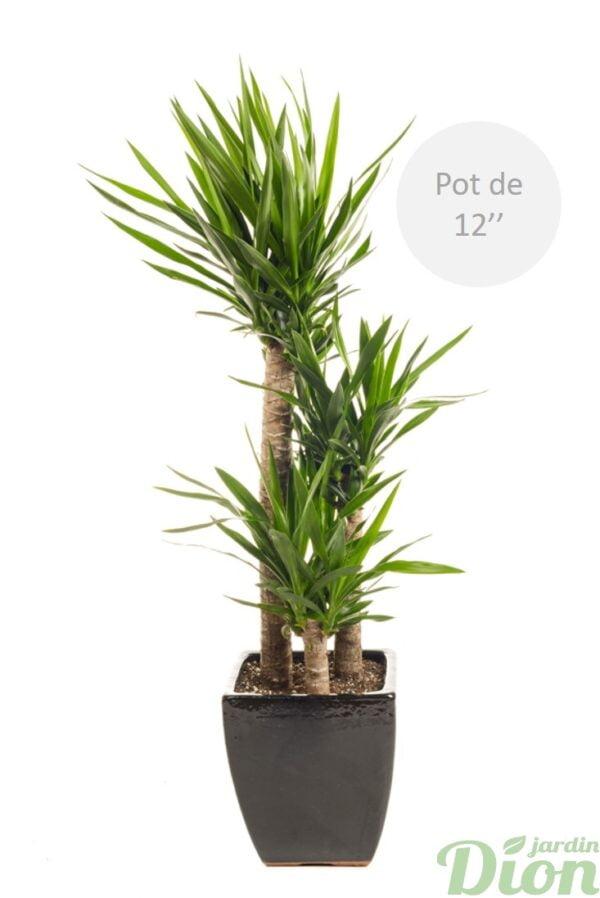 pl-0565-yucca-elephantipes-soleil-sol sec-pot-carre-noir avec soucoupe-guatemala 12 pouces