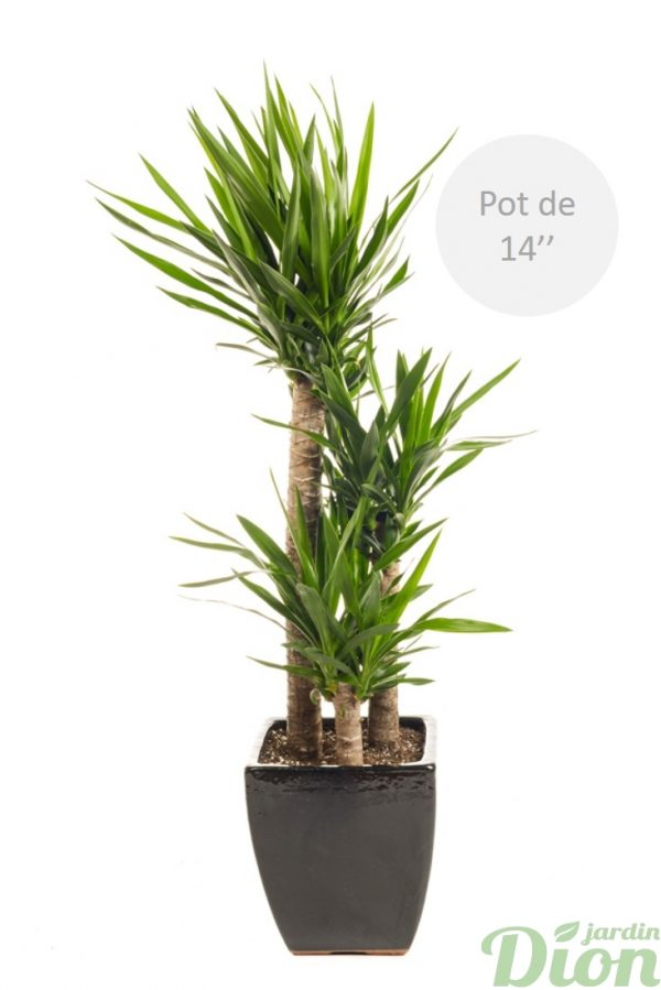 pl-0566-yucca-elephantipes-soleil-sol sec-pot-carre-noir avec soucoupe-guatemala 14 pouces