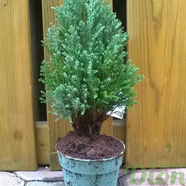cupressus-cypres-plante de noel-sempervirens-conifere tropical