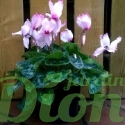 cyclamen-bicolor-rose