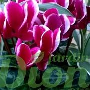 cyclamen-bicolor-rose fonce et blanc