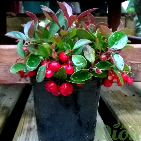gaulteria procumbens-the des bois-baies rouge-plante de noel