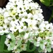 kalanchoe-blossfeldiana-plante grasse-fleurs blanches
