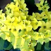 kalanchoe-blossfeldiana-plante grasse-fleurs jaunes